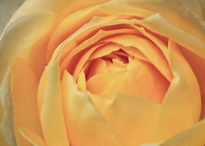 ryankellyphotography@gmail.com Greeting Card featuring the photograph Awakening Yellow Bare Root Rose by Ryan Kelly