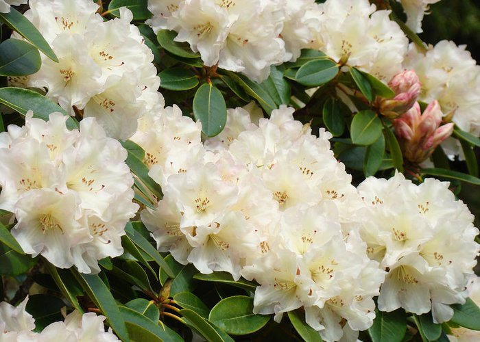 �azaleas Artwork� Greeting Card featuring the photograph Azaleas Rhodies Landscape White Pink Rhododendrum Flowers 8 Giclee Art Prints Baslee Troutman by Baslee Troutman