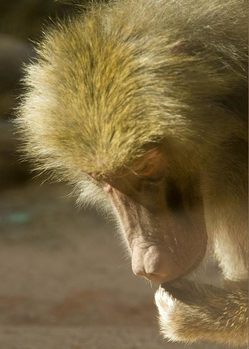 Baboon Greeting Card featuring the photograph Baboon Craps Shooter by Richard Henne