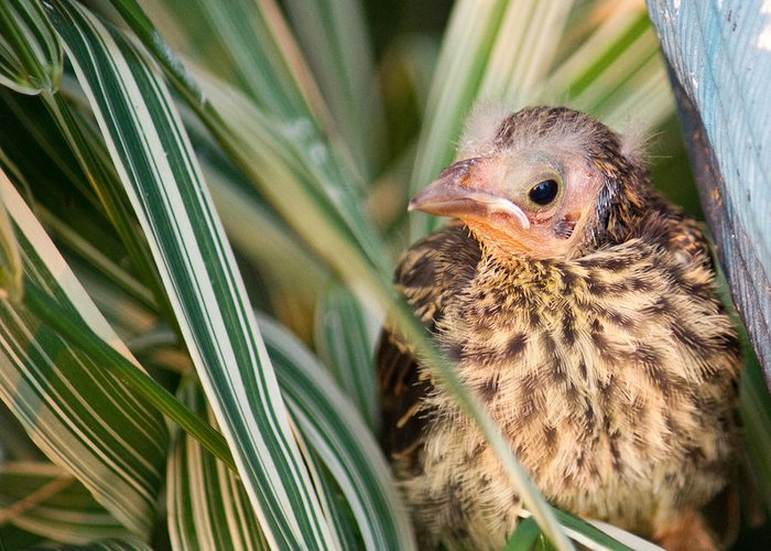 Bird Greeting Card featuring the photograph Baby Bird Peering Out by Douglas Barnett