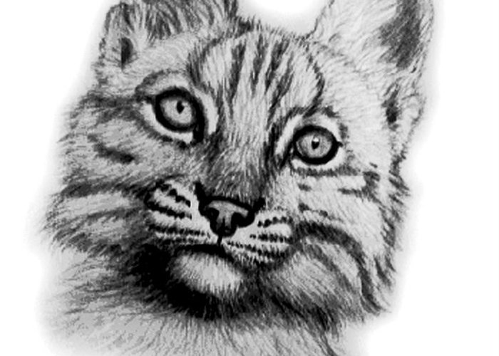 Baby Bobcat Greeting Card featuring the drawing Baby Bobcat by Nick Gustafson