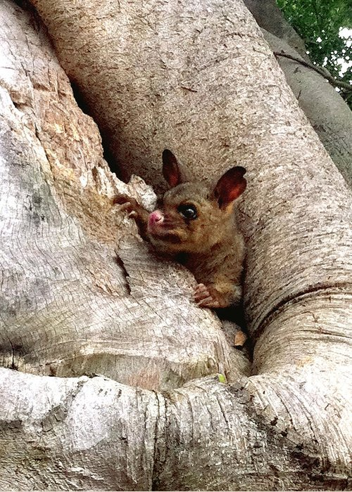 Brushtail Greeting Card featuring the photograph Baby Brushtail Possum by Darren Stein