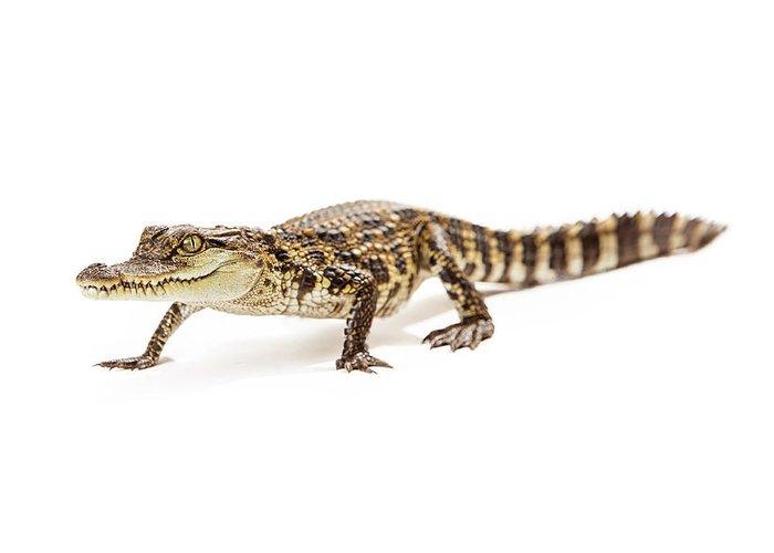 baby crocodile walking forward greeting card for sale by susan schmitz