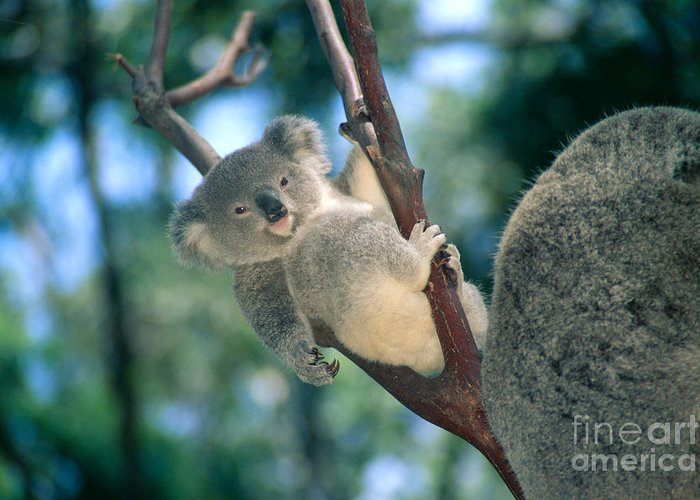 Animal Art Greeting Card featuring the photograph Baby Koala Bear by Himani - Printscapes