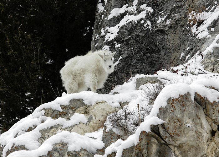 Mountain Greeting Card featuring the photograph Baby Mountain Goat by Ronnie and Frances Howard