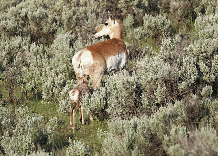 Baby Pronghorn Feeding Greeting Card featuring the photograph Baby Pronghorn Feeding by Dan Sproul