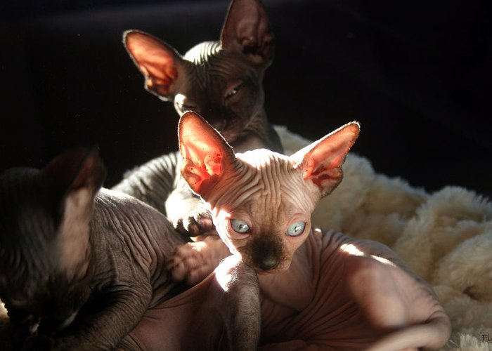 Photo Greeting Card featuring the photograph Baby Sphynx Cats by Ruben Flanagan