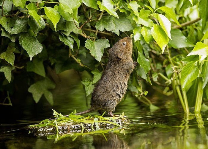 Baby Greeting Card featuring the photograph Baby Water Vole Stretching Up by Jenny Hibbert