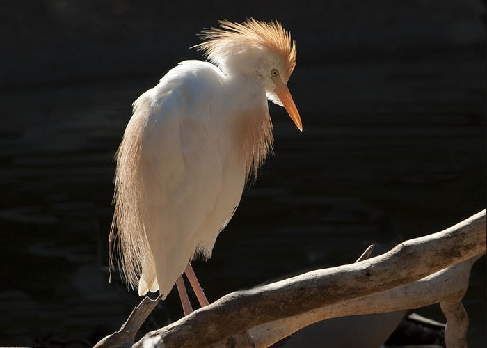 Bird Greeting Card featuring the photograph Backlit Egret by Sandra Bronstein