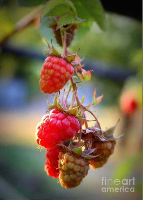 Food And Beverage Greeting Card featuring the photograph Backyard Garden Series - The Freshest Raspberries by Carol Groenen