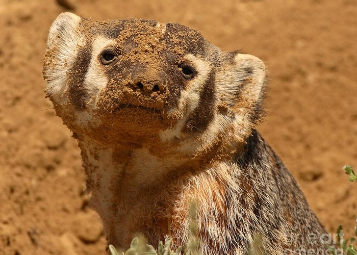 Badger Greeting Card featuring the photograph Badger Covered In Dirt From Digging by Max Allen
