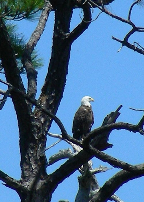 Bald Ealge Greeting Card featuring the photograph Bald Eagle II by Peter McIntosh