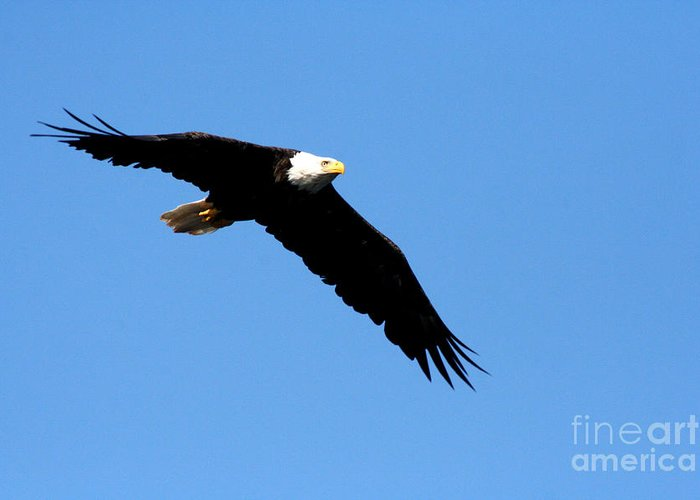 Eagle Greeting Card featuring the photograph Bald Eagle IIi by Thomas Marchessault