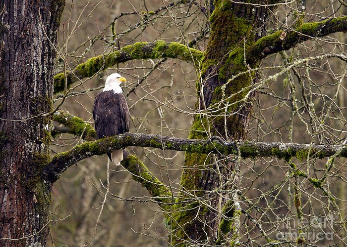 Bald Eagle Greeting Card featuring the photograph Bald Eagle On Mossy Branch by Sharon Talson