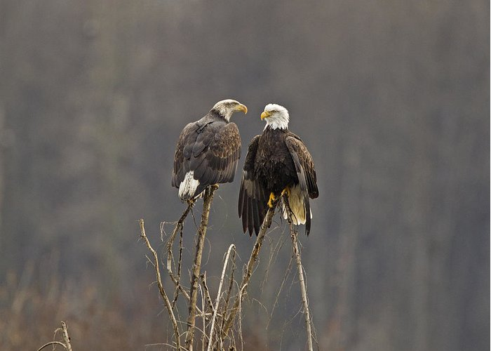 Bald Eagles Greeting Card featuring the photograph Bald Eagles Balancing by Jenny Hibbert