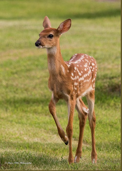 Fawns Greeting Card featuring the photograph Ballerina Fawn by Bruce Nikle