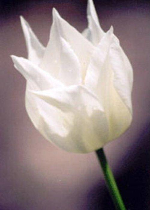 Flower Tulip Greeting Card featuring the photograph Ballerina by John Bradburn
