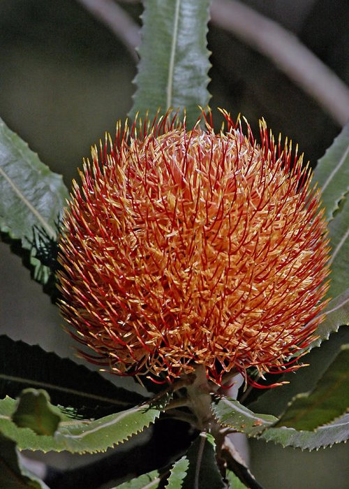 Banksia Greeting Card featuring the photograph Banksia Attenuata by Tony Brown