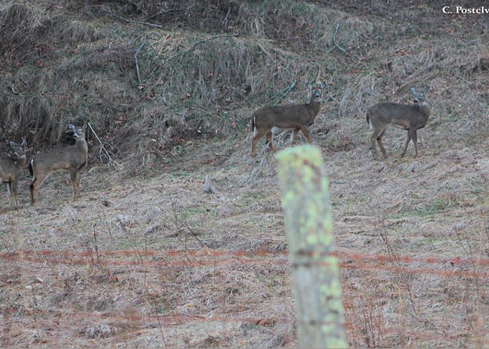 Fence Greeting Card featuring the photograph Barbwire And Whitetails by Carolyn Postelwait