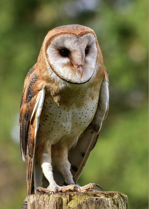 Owl Greeting Card featuring the photograph Barn Owl by Keith Boone