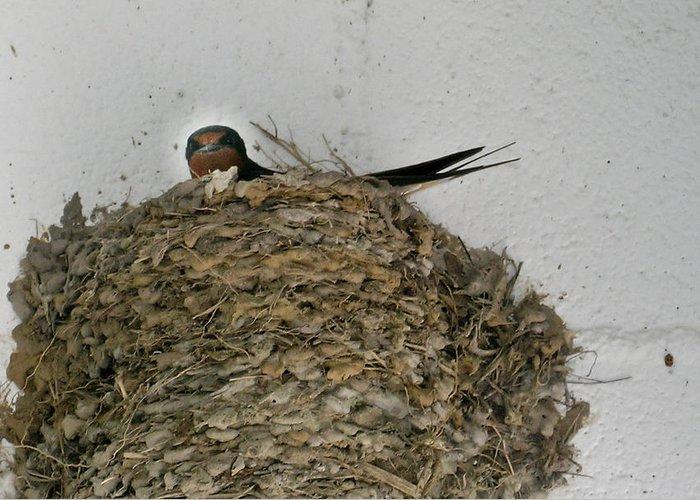 Barn Greeting Card featuring the photograph Barn Swallow Hirundo Rustica by Douglas Barnett