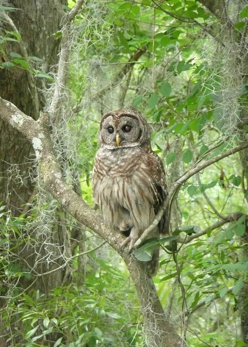 Nature Greeting Card featuring the photograph Barred Owl I by Kathy Schumann