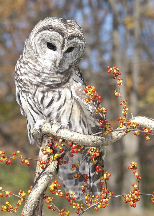 Barred Owl Greeting Card featuring the photograph Barred Owl Portrait by Cindy Lindow