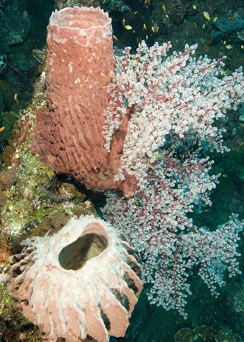 Coral Greeting Card featuring the photograph Barrell Sponges And Sea Fans by Tim Laman