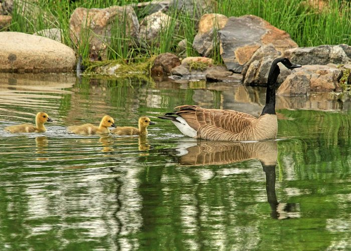 Canada Goose Greeting Card featuring the photograph Bashful - Grumpy And Sleepy by Donna Kennedy