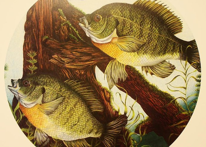 Fishing Greeting Card featuring the drawing Basking Bluegills by Bruce Bley