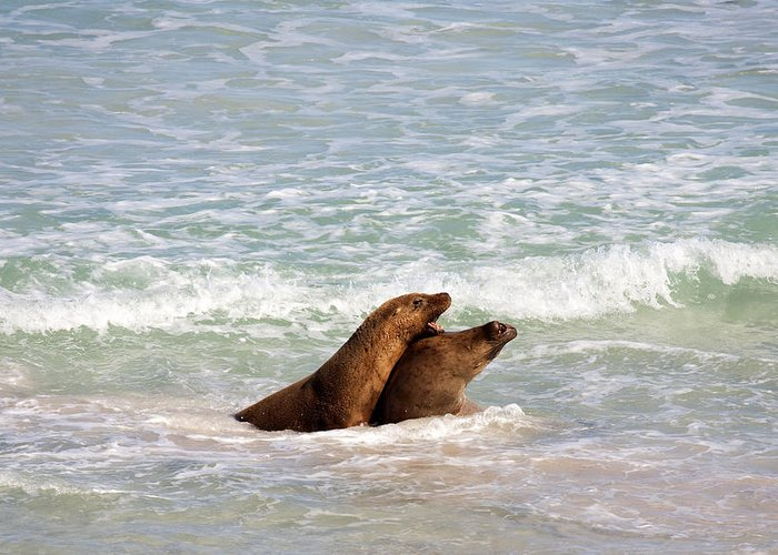 Sea Lion Greeting Card featuring the photograph Battle For The Beach by Mike Dawson