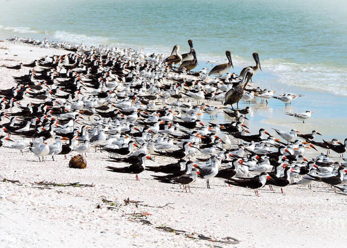 Pelicans Greeting Card featuring the photograph Beach Flock by Marilee Noland