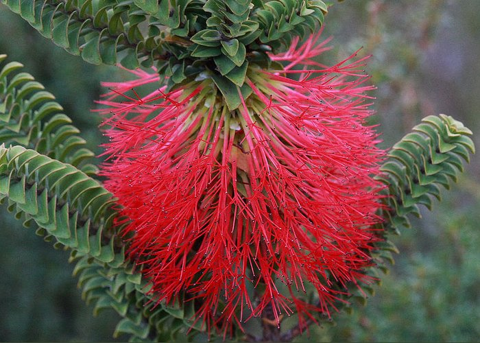 Plant Native Wa Australia Beaufortia Red Greeting Card featuring the photograph Beaufortia A by Tony Brown