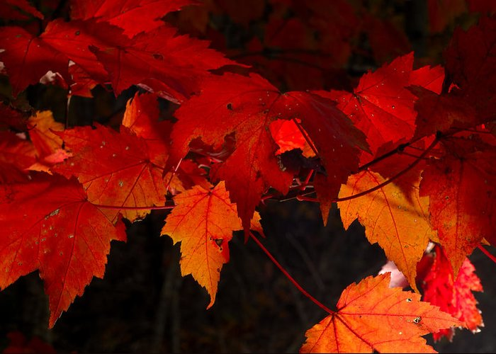 Red Greeting Card featuring the photograph Beautiful Backlit Autumn Maple Leaves by Darrell Young