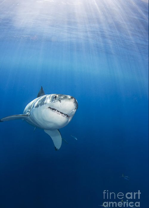 White Shark Greeting Cards