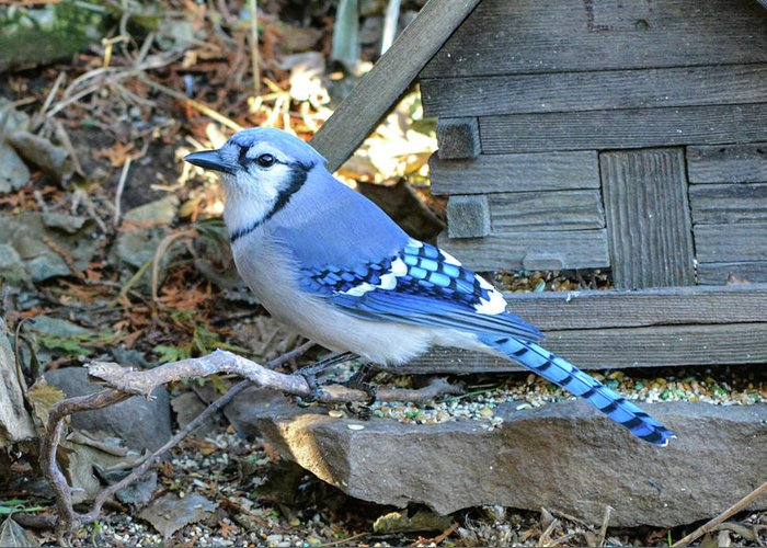 Birds Greeting Card featuring the photograph Beautiful Jay by Shelley Smith