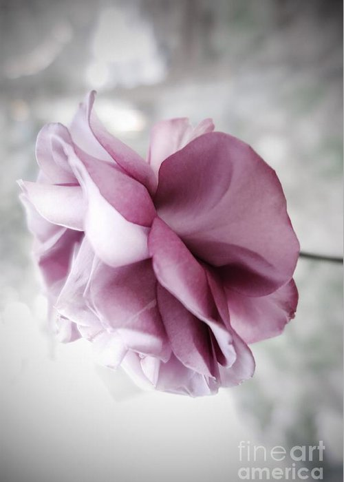 Floral Greeting Card featuring the photograph Beautiful Lavender Rose by Tara Shalton