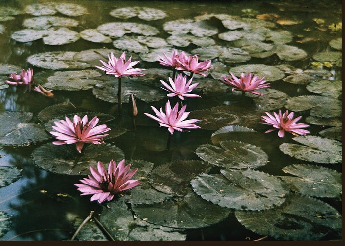Photographs Greeting Card featuring the photograph Beautiful Pink Lotus Water Lilies Bloom by W. Robert Moore