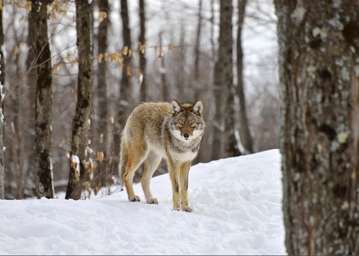 Northeastern Coyote Greeting Cards