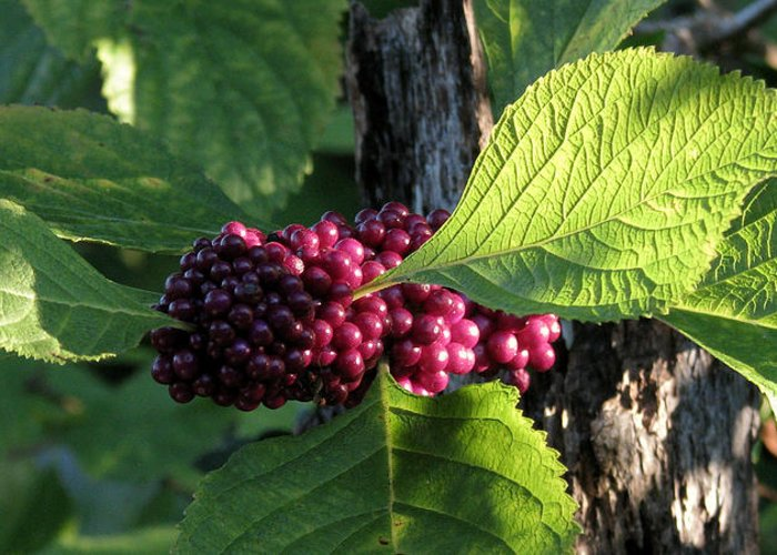 Nature Greeting Card featuring the photograph Beautyberry 2 by Peg Urban