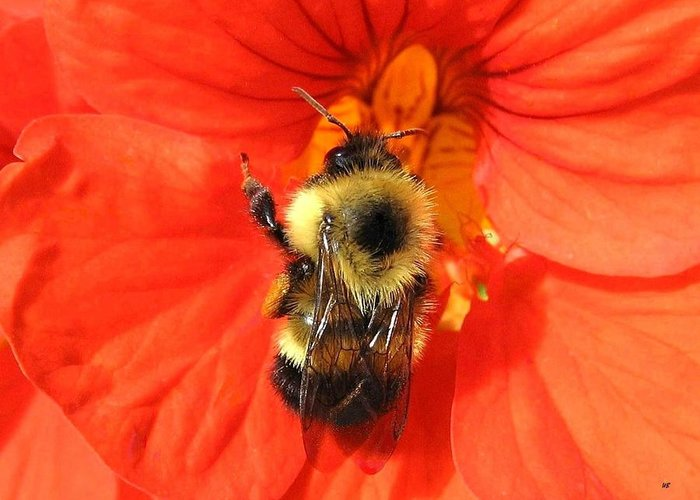 Bee Greeting Card featuring the photograph Bee And Nasturtium by Will Borden