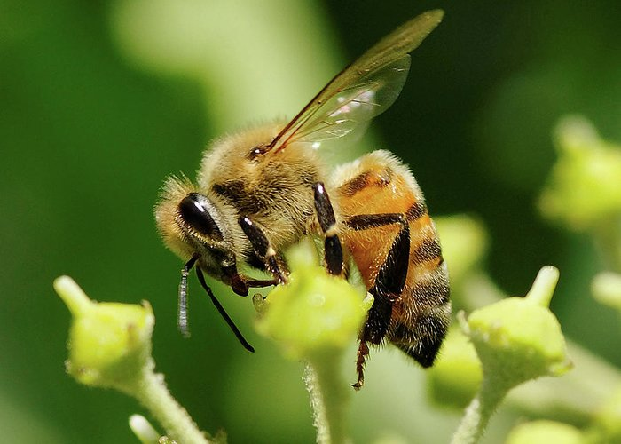 Bee Greeting Card featuring the photograph Bee On A Flower by Clarence Alford