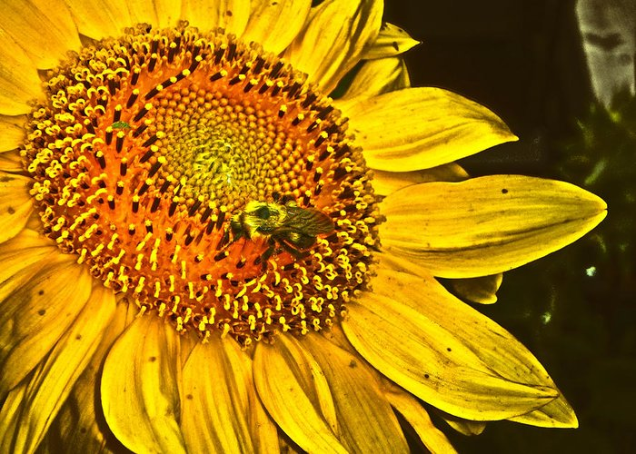 Sunflower Greeting Card featuring the photograph Bee On A Sunflower by Judy Hall-Folde