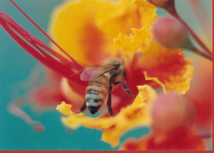 Bee Greeting Card featuring the photograph Bee On Bird Of Paradise 100 by Diane Backs-Mancuso