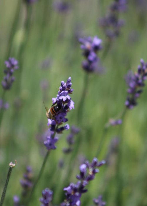Deep Purple Lavender Greeting Card featuring the photograph Bee on Deep Purple Lavender Spike by Colleen Cornelius