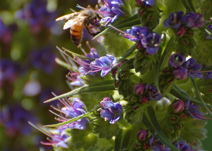 Bee Greeting Card featuring the photograph Bee On Echium by Jean Booth