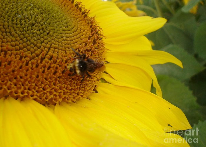 Bee Greeting Card featuring the photograph Bee On Sunflower 3 by Chandelle Hazen
