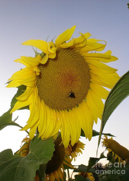Bee On Sunflower Greeting Card featuring the photograph Bee On Sunflower 5 by Chandelle Hazen