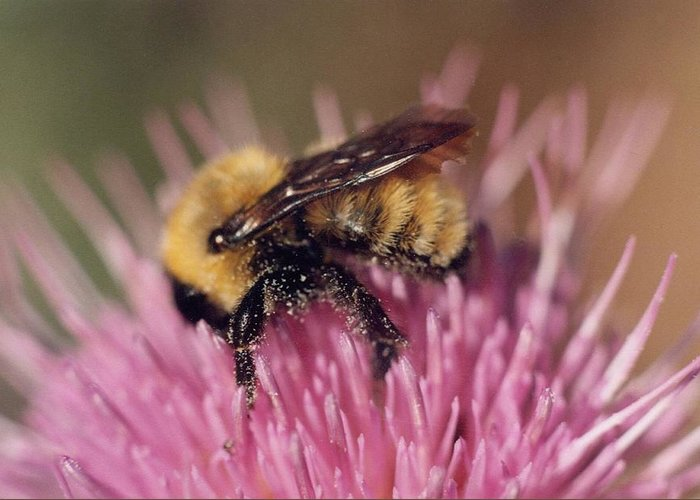 Bee Greeting Card featuring the photograph Bee On Thistle 103 by Diane Backs-Mancuso