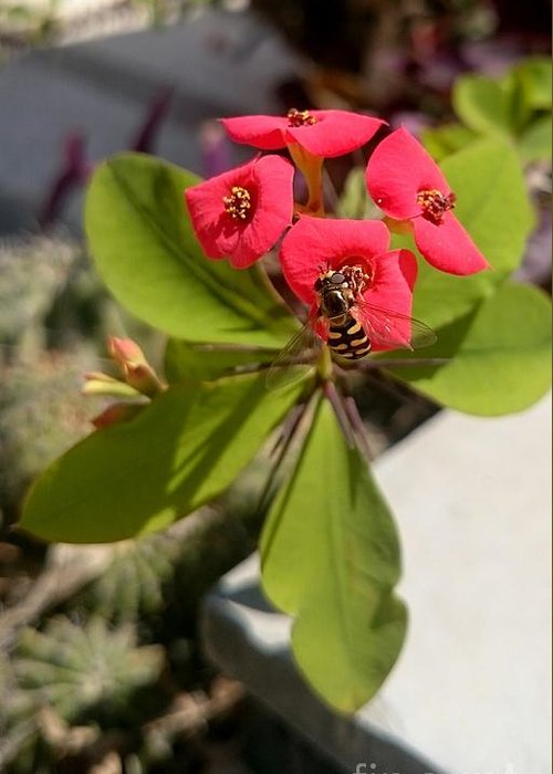 Bee Red Rose Green Plants Insect Yellow Black Greeting Card featuring the photograph Bee Red Rose by Mina Milad